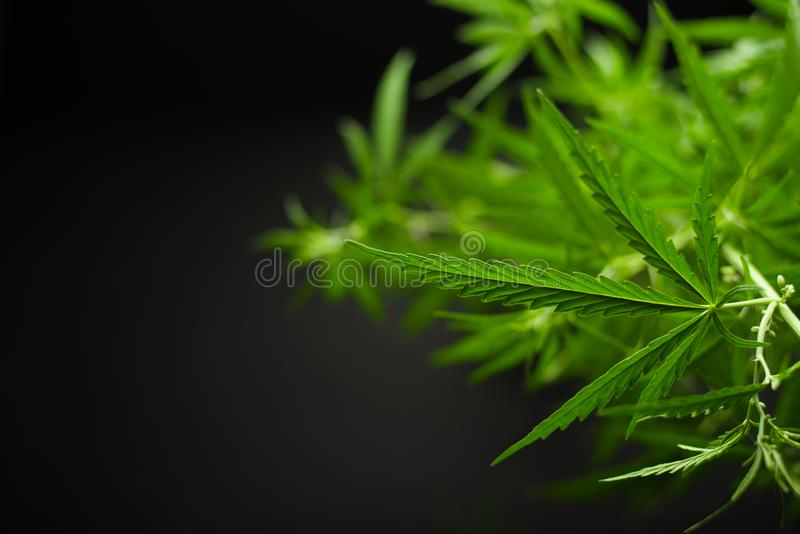 Beautiful hemp leaves on a black background with space for writing royalty free stock photos