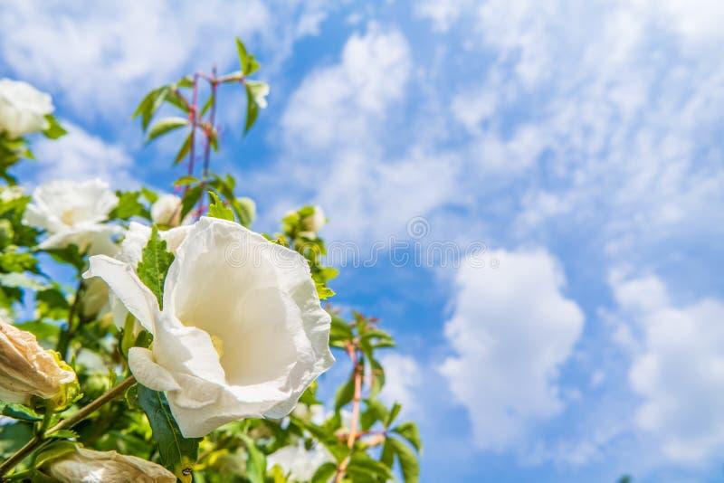 Download Beautiful Hibiscus Stock Photo - Image: 83708175