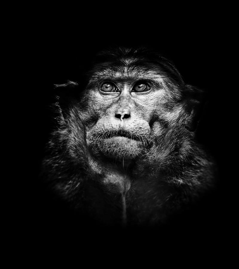 Beautiful high contrast black and white portrait of bonnet macaque monkey. Beautiful high contrast black and white tone portrait of bonnet macaque monkey stock photos