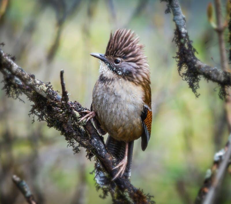 Himalayan barwing bird royalty free stock photos