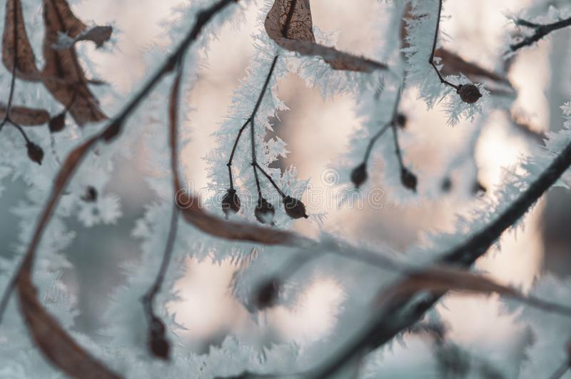 Beautiful hoarfrost on linden branch. Macro shot royalty free stock photo