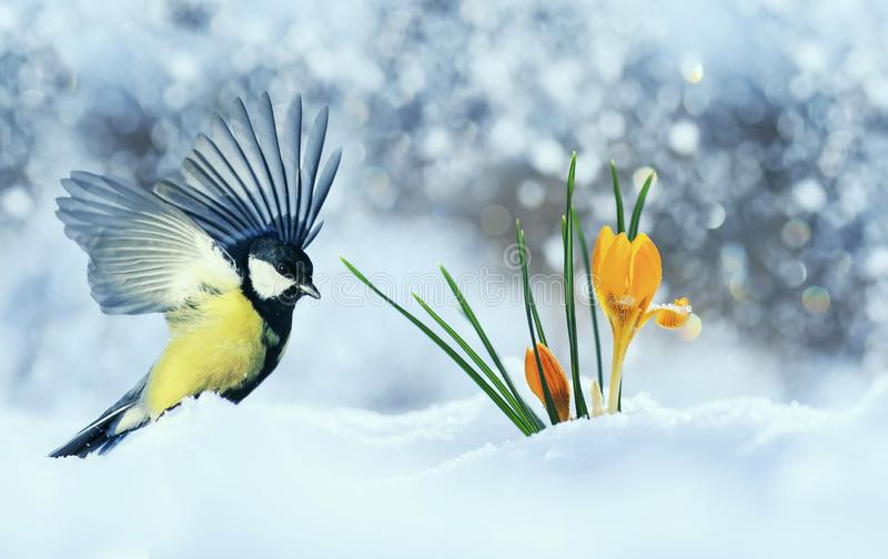 Beautiful holiday card with bird tit flew widely spreading its wings to the first delicate yellow flowers crocuses making their stock image