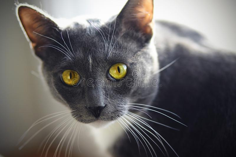 A beautiful home cat of gray color with a white spot on the forehead. And yellow-green eyes looks expressively royalty free stock image