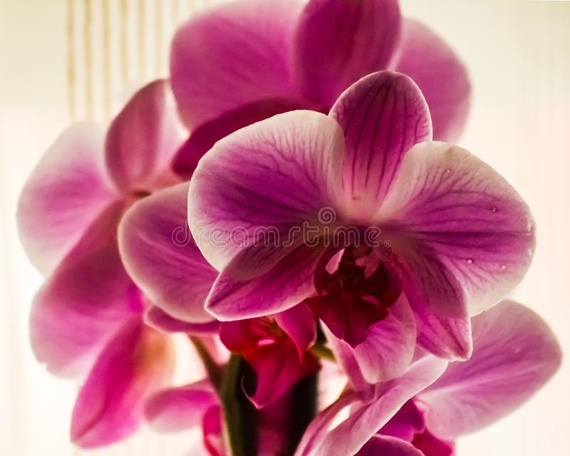 Domestic orchids of violet color royalty free stock photos