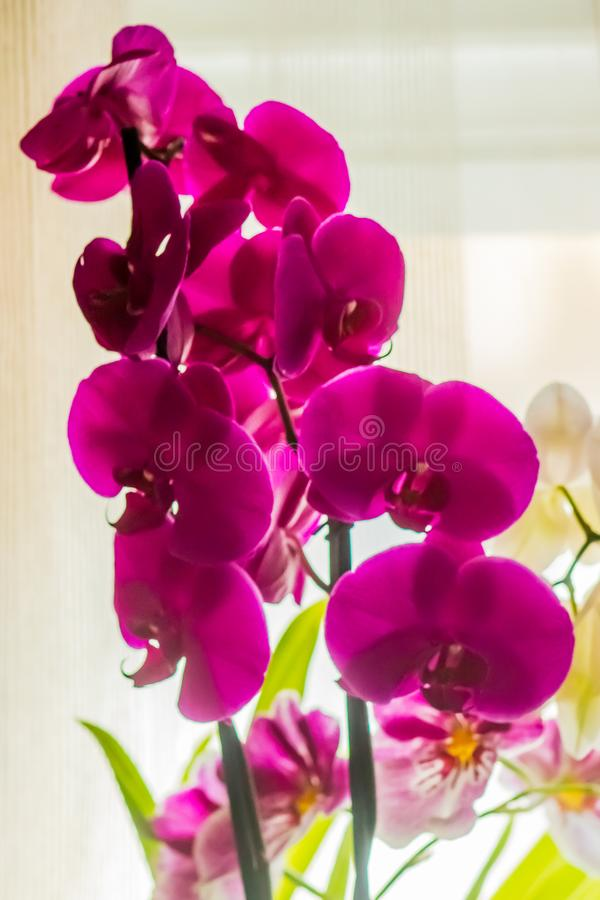 Domestic orchids of violet color royalty free stock photo