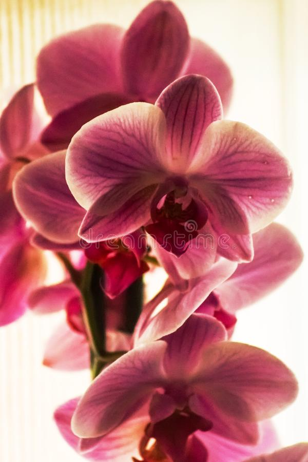 Domestic pink orchids royalty free stock image