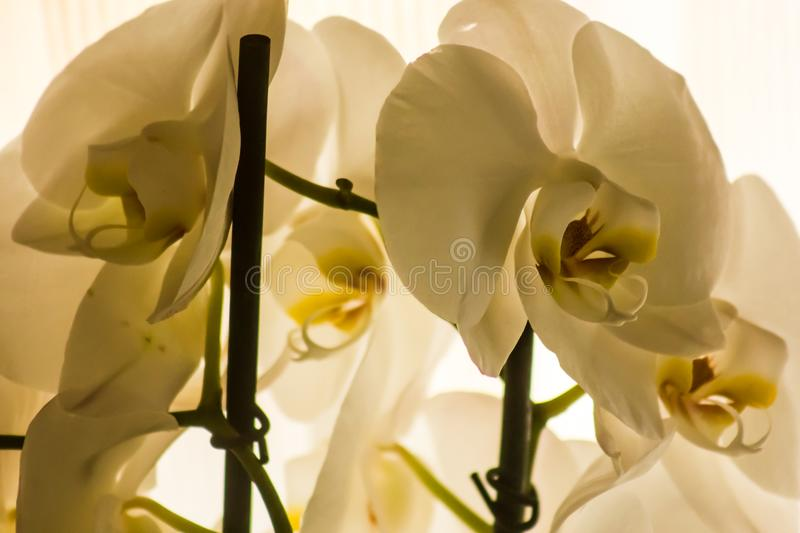 Domestic white orchids royalty free stock image