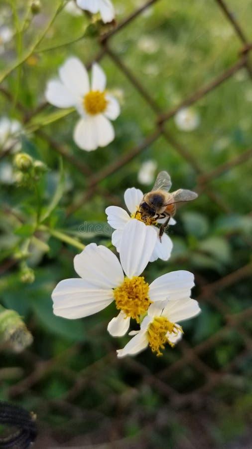 Beautiful Honeybee working for mother nature stock image