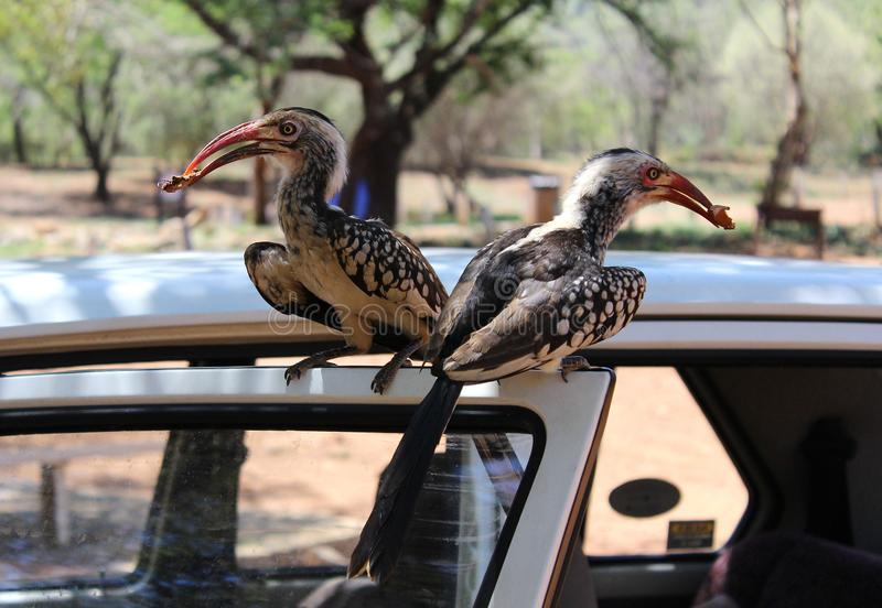 Beautiful hornbills sitting on a car door at an african national park stock photo