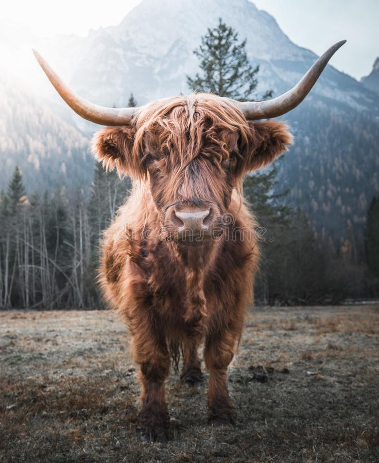 Highland Cattle in the Morning Sun. Beautiful horned Highland Cattle enjoying the Sunrise on a Frozen Meadow in the Italian Dolomites stock photos