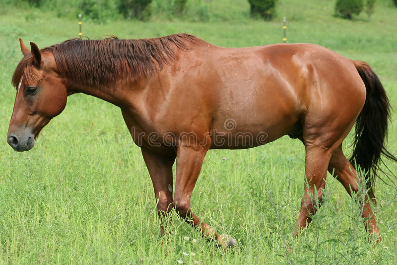 Beautiful Horse. Running in Pasture stock image