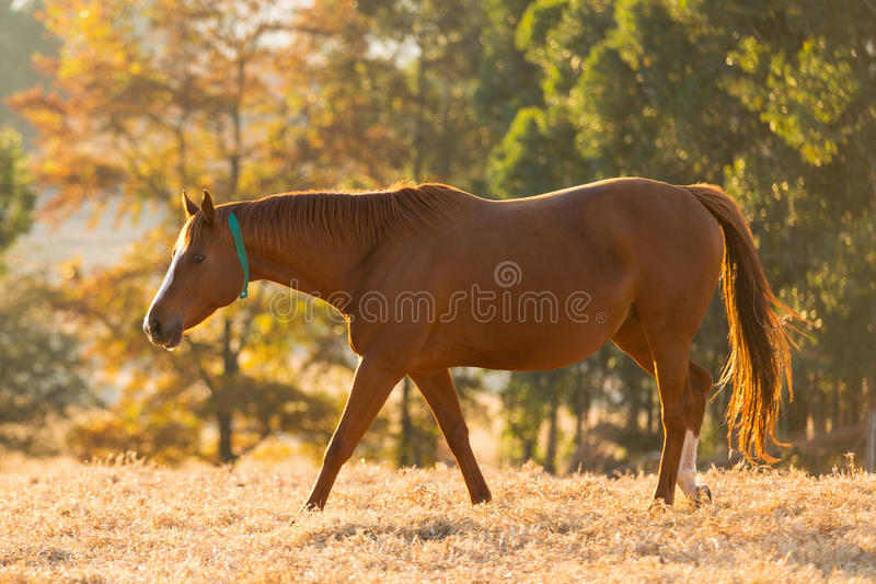 Beautiful horse autumn stock photos