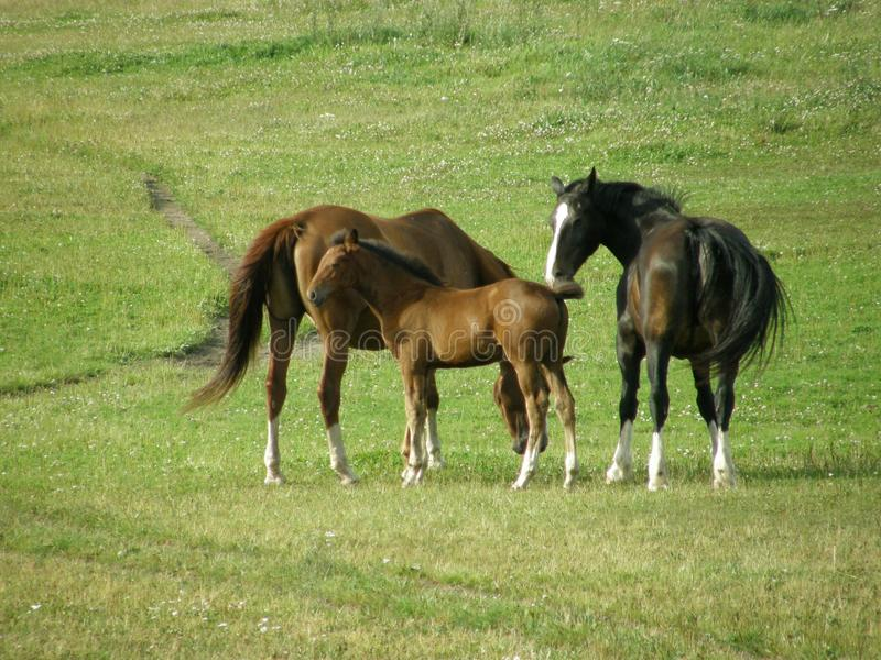 Beautiful horse family in a summer meadow stock photos