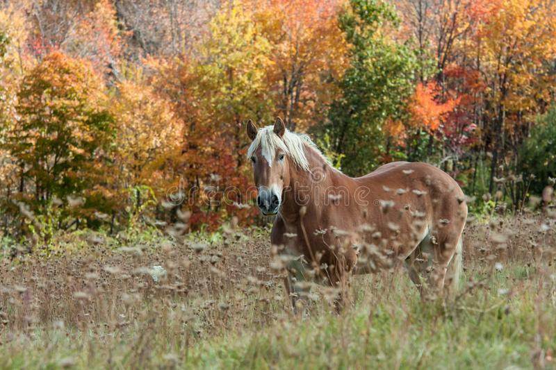 Beautiful horse in Field During Fall Foliage royalty free stock photos