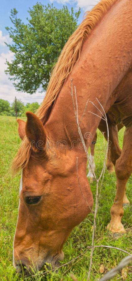 Beautiful horse grazing in a field on a warm spring day stock photo