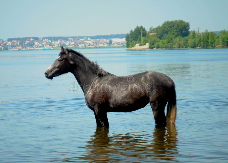 A beautiful horse in a pond. In the shallow waters of the pond is a black horse. Blue water and blue sky royalty free stock photo