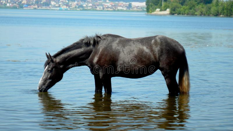 A beautiful horse in a pond. In the shallow waters of a pond,. A black horse drinks water royalty free stock images