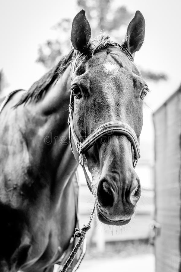 Beautiful horse portrait in black and white royalty free stock photo