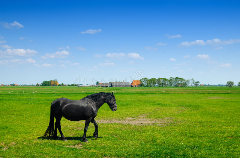 Beautiful horse in spring. On farmland (Friesland Holland royalty free stock photos