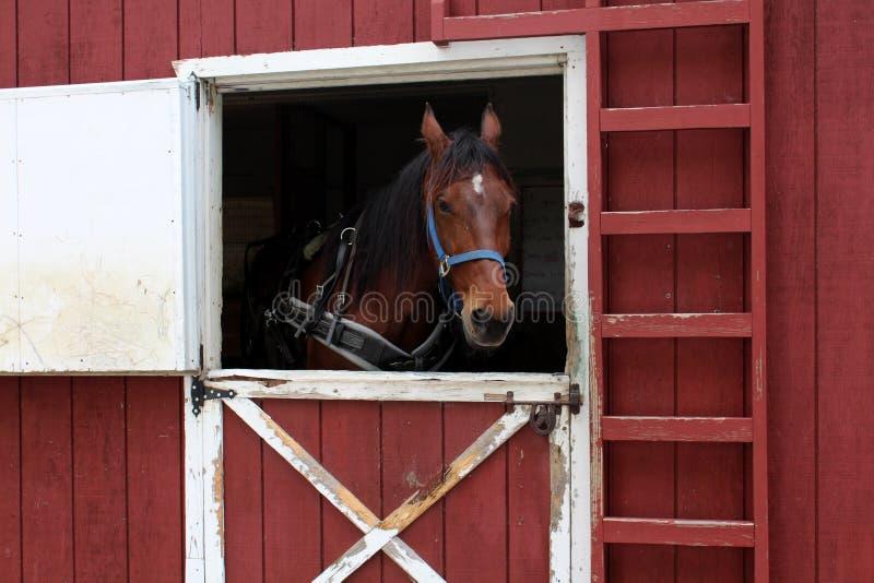 Open Barn Door beautiful horse waiting near open barn door royalty free stock