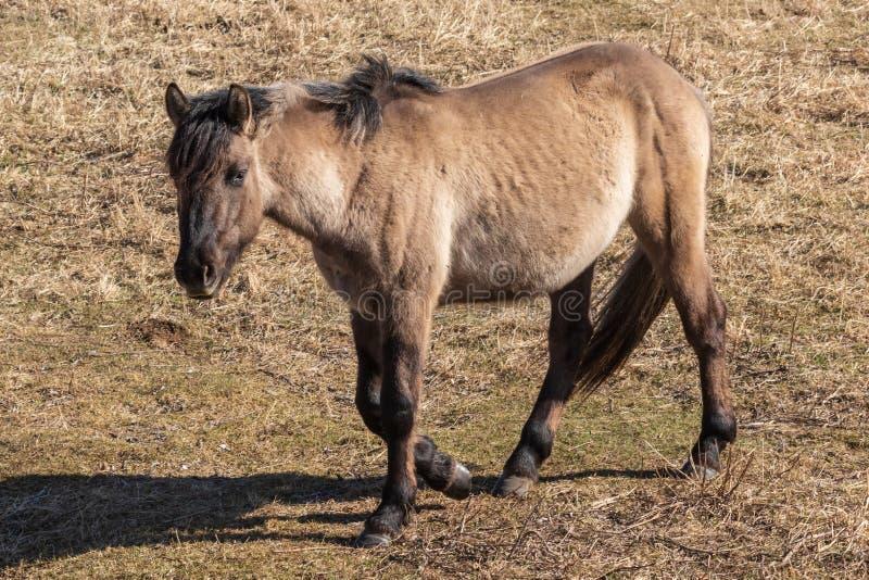 A beautiful horse walks through a spring meadow. royalty free stock photos