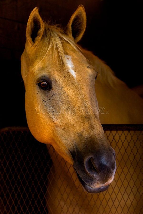 Download Beautiful Horse Watching From Barn Stall. Stock Images - Image: 8360534