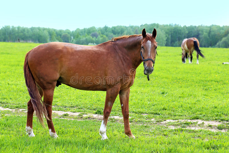 Beautiful horses royalty free stock images