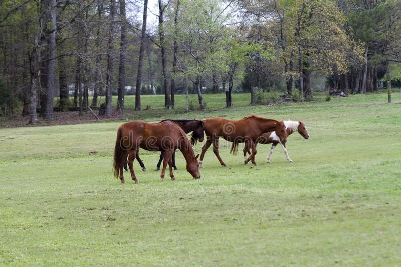 Horses Grazing in the Pasture royalty free stock photo