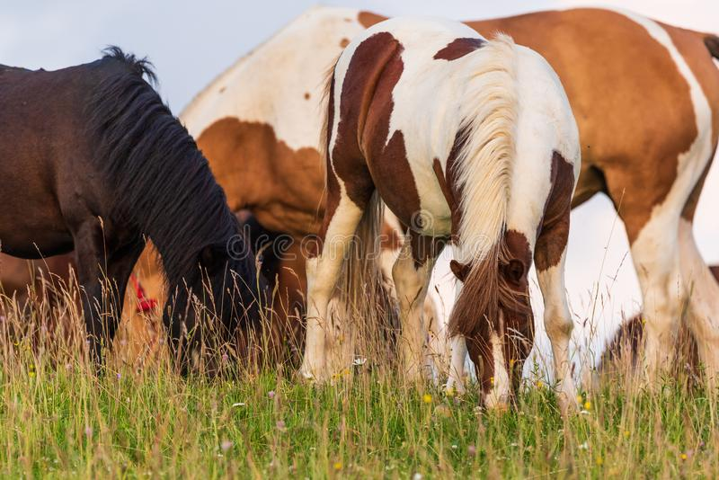 Beautiful horses grazing in lush green pasture on green field royalty free stock photography