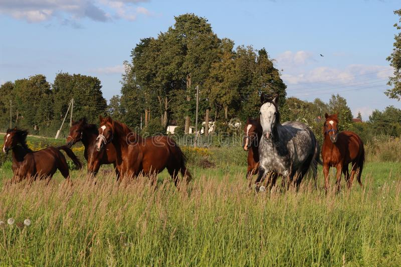 Beautiful Horses grazing in a meadow and eating grass. Beautiful gray horse grazing in a meadow. Summer day in Latvia. royalty free stock images
