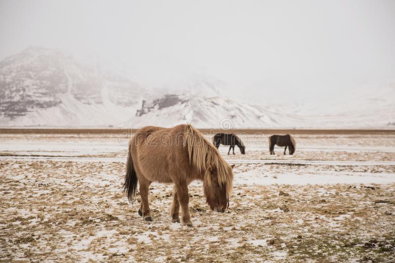 Beautiful horses grazing on snow-covered pasture. In iceland stock photo