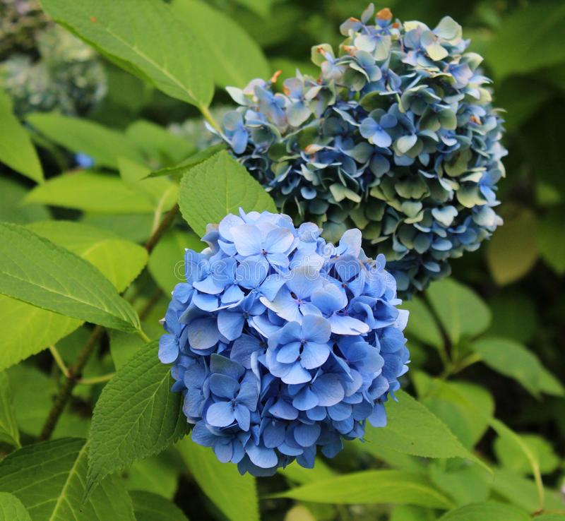 Beautiful hortensia in a garden royalty free stock photo