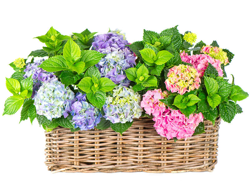 Download Beautiful Hortensia On White. Colorful Hydrangea Stock Image - Image: 20246247