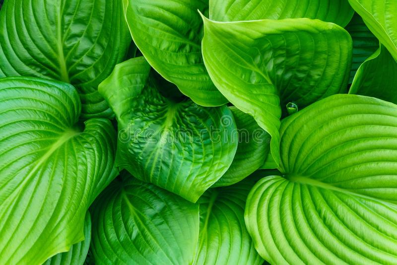 Beautiful Hosta leaves background. Hosta - an ornamental plant for landscaping park and garden design. royalty free stock photos