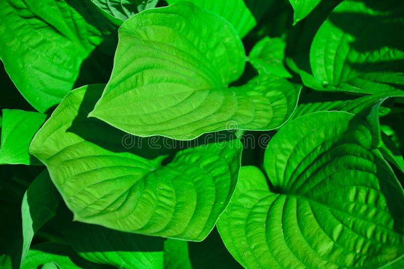 Beautiful hosta natural background. Khosta - an ornamental plant for landscape design of the park and garden. Large lush green royalty free stock photo