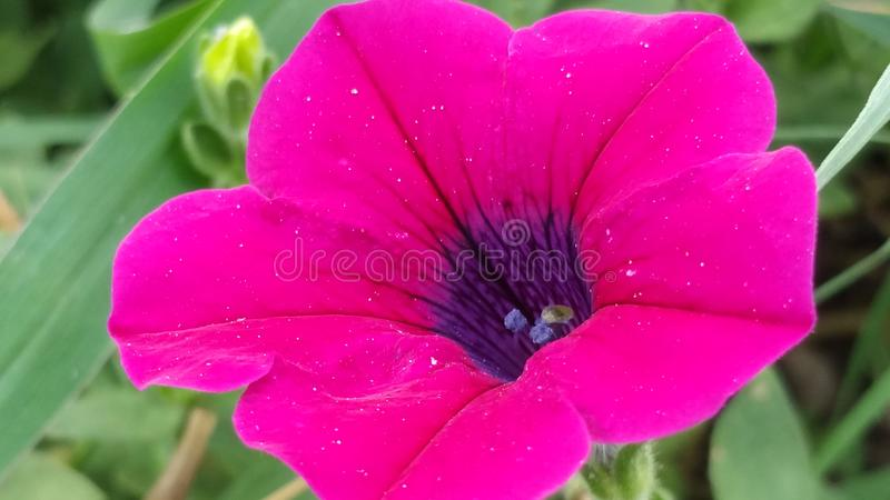 Beautiful Hot Pink Flower royalty free stock images