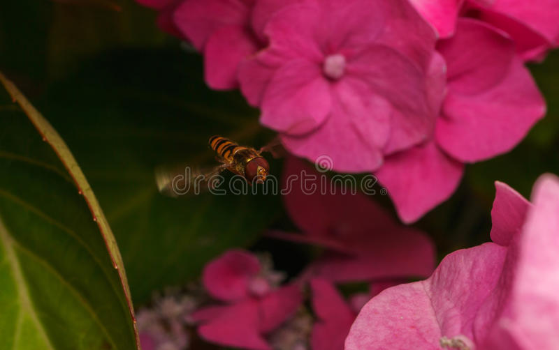 A beautiful Hoverfly hovering over a Pink flower. A beautiful Hover-fly hovering over a pink Hydrangea flower stock image