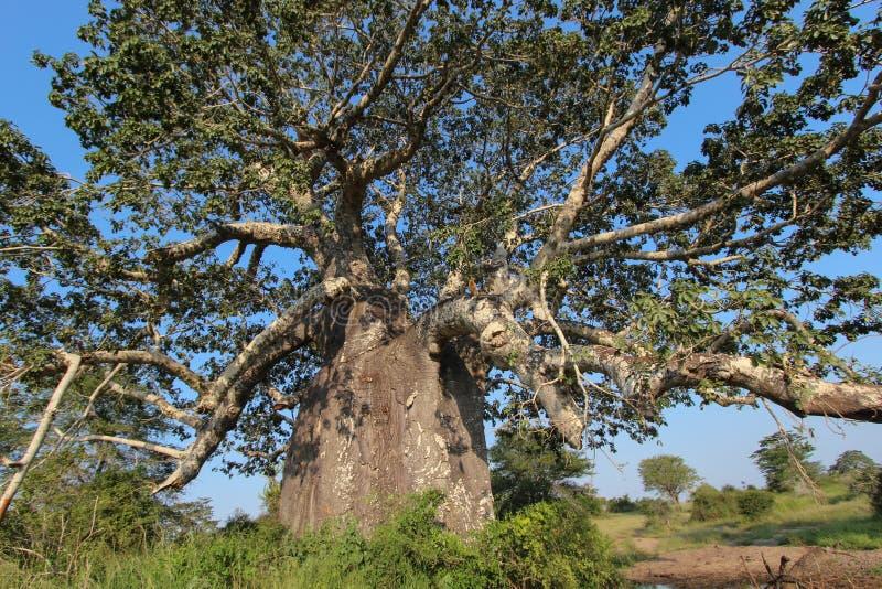 Beautiful and huge Baobab at Kissama National Park – Angola. stock image