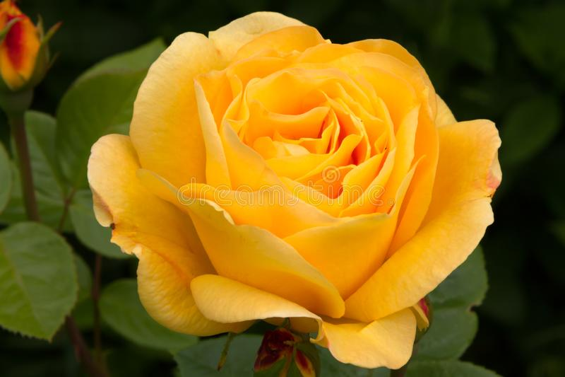Beautiful huge yellow rose in the summer garden. Close up stock images