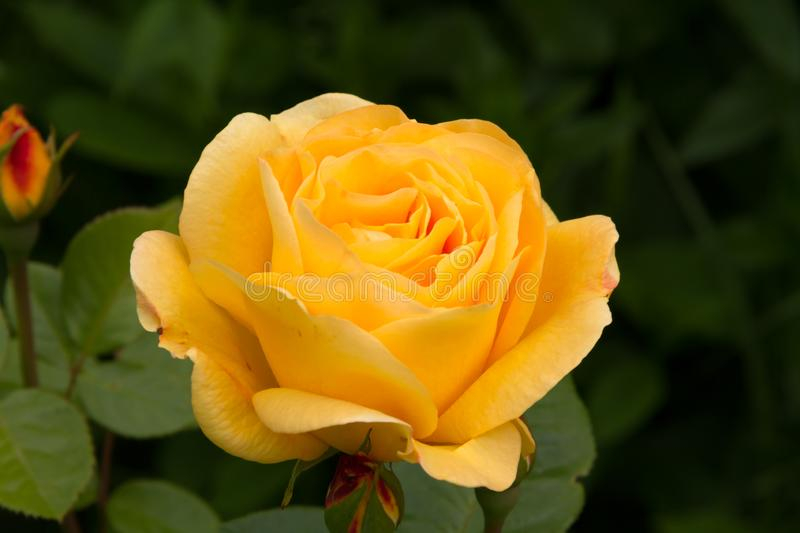 Beautiful huge yellow rose in the summer garden. Close up stock photography