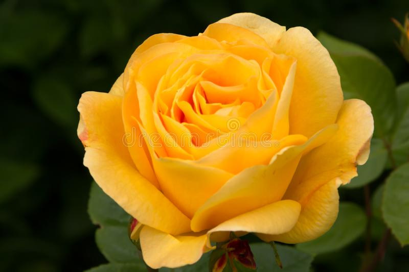 Beautiful huge yellow rose in the summer garden. Close up royalty free stock photos