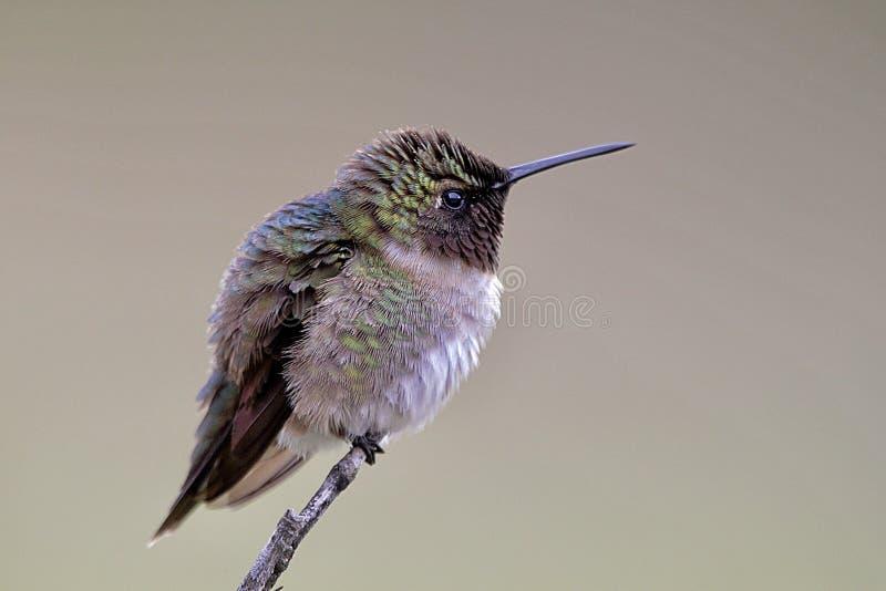 Beautiful hummingbird stock photography