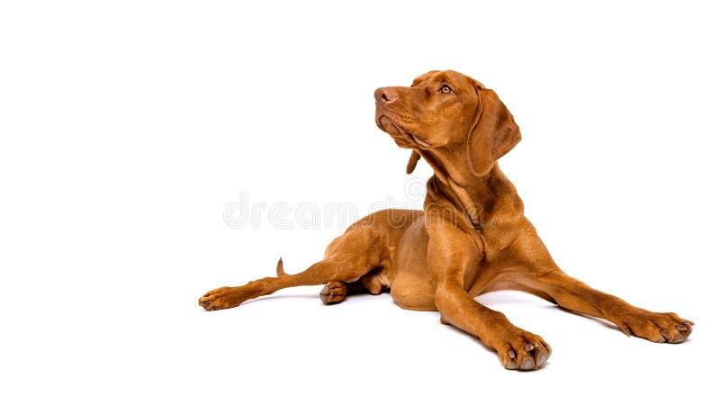 Beautiful hungarian vizsla dog full body studio portrait. Dog lying down and looking to the side over white background. Beautiful hungarian vizsla dog full body royalty free stock image