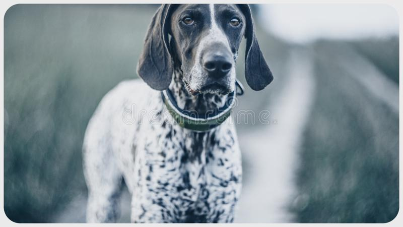 Beautiful hunter dog portrait in nature royalty free stock image