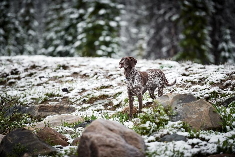 A hunting dog in the snow. A beautiful hunting dog standing in snow in the mountains stock images