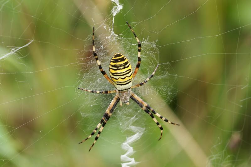 A hunting Wasp Spider, Argiope bruennichi, perching on its web in a meadow in the UK. A beautiful hunting Wasp Spider, Argiope bruennichi, perching on its web royalty free stock image