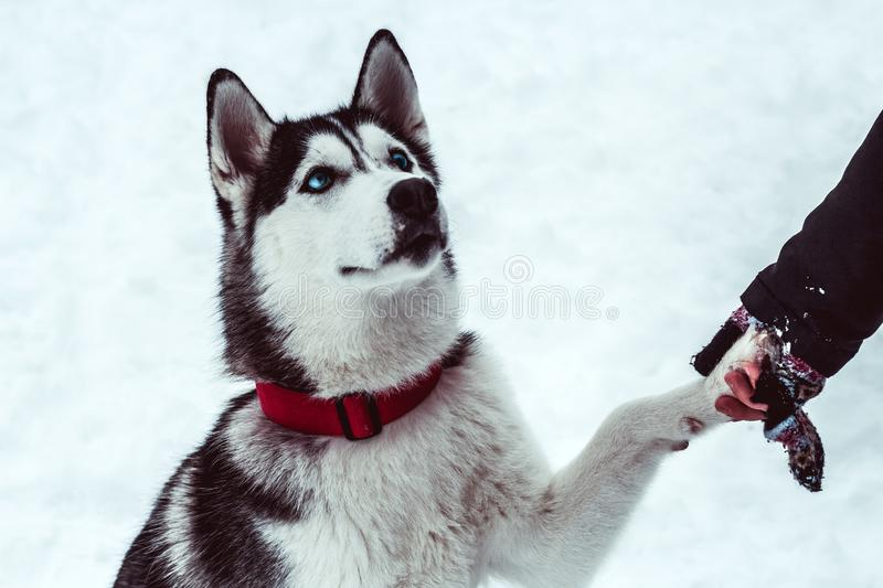 Husky dog gives paw to his mistress on walking in the park in winter. Beautiful husky dog gives paw to his mistress on walking in the park in winter stock images