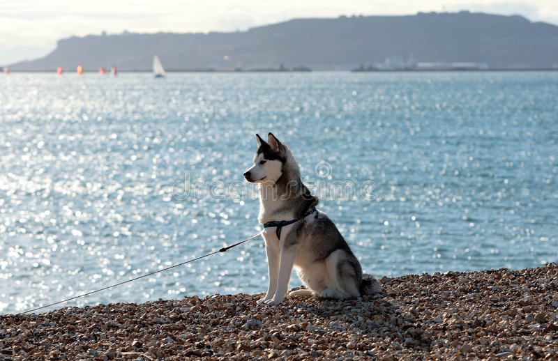 Beautiful Husky dog sitting on sunny beach stock photos