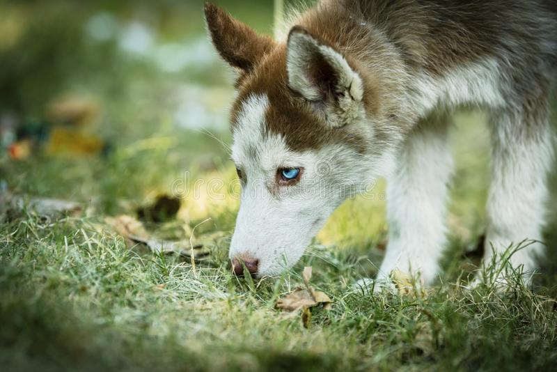 Beautiful Husky Puppy. Cute blue eye siberian husky puppy playing and looking around royalty free stock photos