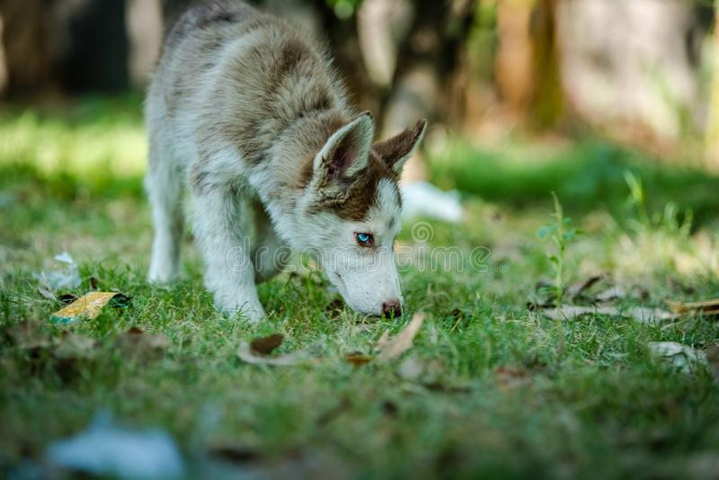 Beautiful Husky Puppy. Cute blue eye siberian husky puppy playing and looking around royalty free stock photo